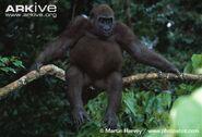 Western-lowland-gorilla-sitting-on-a-branch