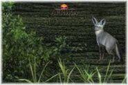 Afrika fox