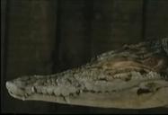 Animorphs Crocodile