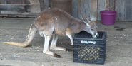 Cincinnati Zoo Kangaroo