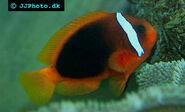Clownfish, Tomato