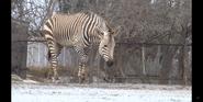 Louisville Zoo Zebra
