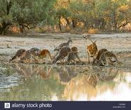 Red Kangaroo Mob