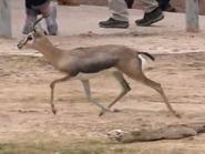 Reid Park Zoo Gazelle