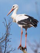 Stork, White