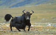 Yak-Bull-HD-Wallpapers
