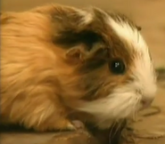 Zoboomafoo Guinea Pig
