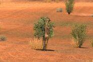 16 Gerenuk