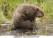 An-adult-beaver-castor-canadensis-picture u26889544.jpg