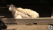 Baton Rouge Zoo Goat
