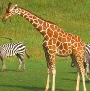 Binder Park Zoo Giraffe