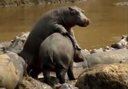HugoSafari - Hippopotamus09