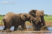 Male-African-elephants-fighting