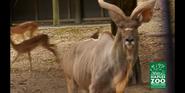Naples Zoo Kudu