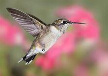 Ruby throated hummingbird 3-0.jpg