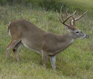 White-Tailed Deer (V2)