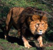 Atlas Lion.jpg