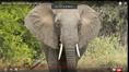 Big Elephants Need Big Ears to Scare Off Predators Especially Other Elephants
