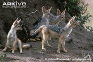 Black-backed jackal pack