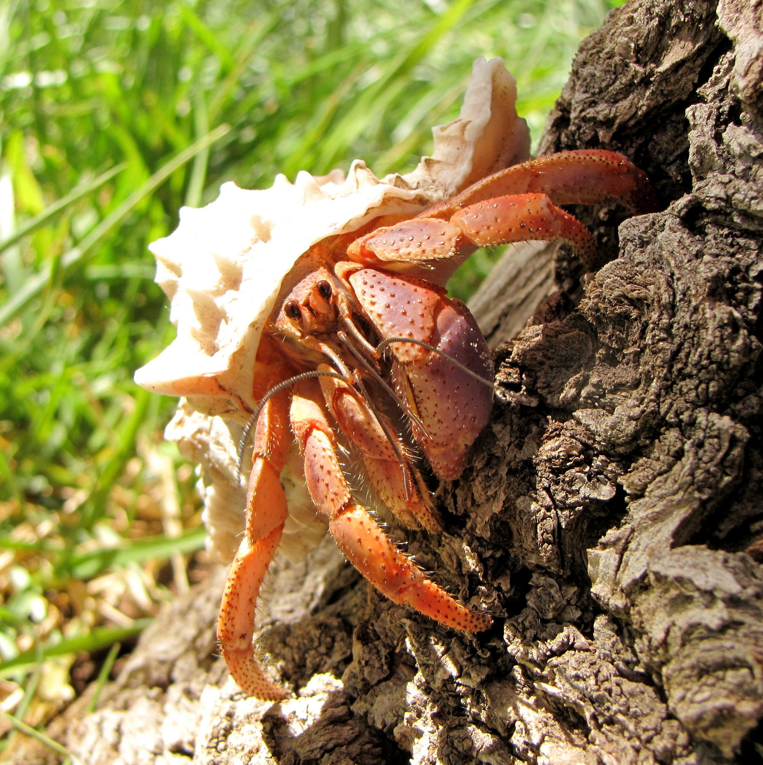 Caribbean Hermit Crab