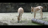 Cleveland Zoo Onagers 2
