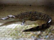 Crocodylus niloticus africanus