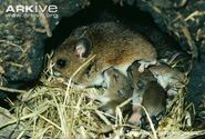 Female-wood-mouse-in-nest-suckling-young