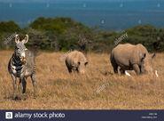 Grevy's Zebras and White Rhinoceroses