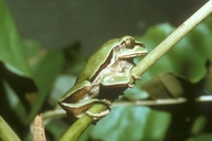 West Cameroon Forest Tree Frog