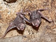 Male and Female Vampire Bats