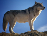 North American Gray Wolf