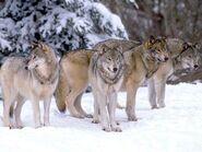 Pack of Northwestern Wolves