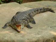 Southern Nile Crocodile