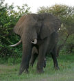 AfricanBushElephant