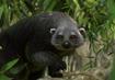 Binturong-planet-zoo
