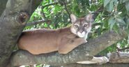 Cougar, Eastern South American