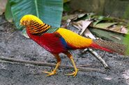 DAK Golden Pheasant