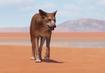 Dingo-planet-zoo