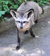 Fox, Bat-Eared
