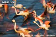Greater-flamingo
