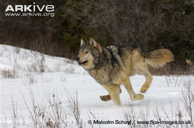 Arctic Canids