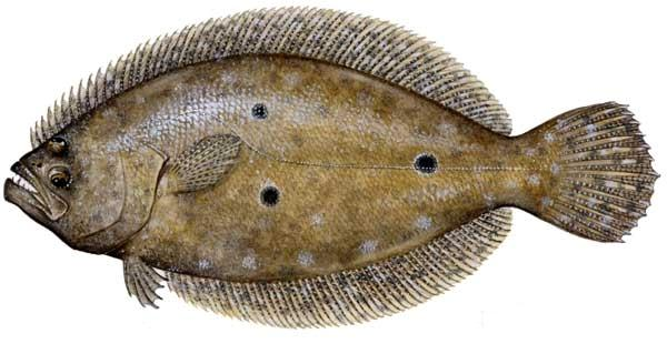 Flounder (fish)