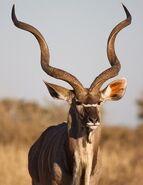 Kudu-bull