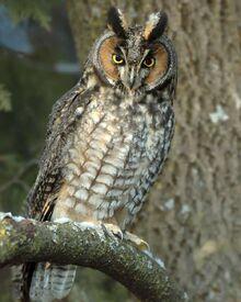 Long-eared Owl l27-1-013 l.jpg