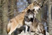 Male and Female Eastern Wolves.jpg