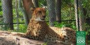 Naples Zoo Cheetah
