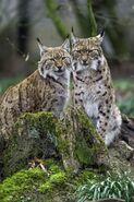 Noah's Ark Lynxes Lions Leopards