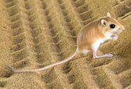 Rat, Desert Kangaroo
