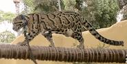 San Diego Zoo Clouded Leopard