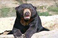 Sun bear1
